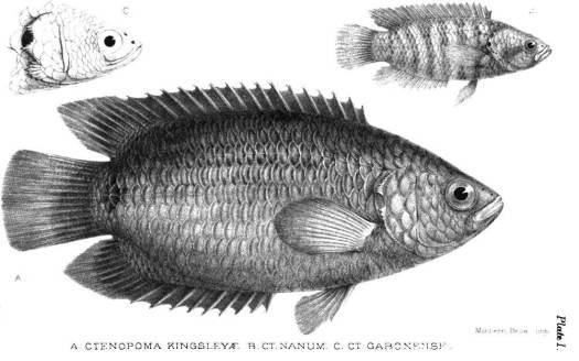 kingsleyfish